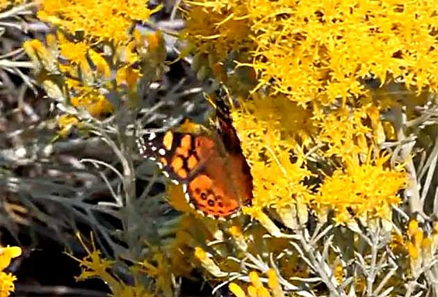 butterfly on rabbitbrush