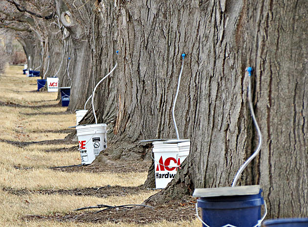 maple trees and buckets