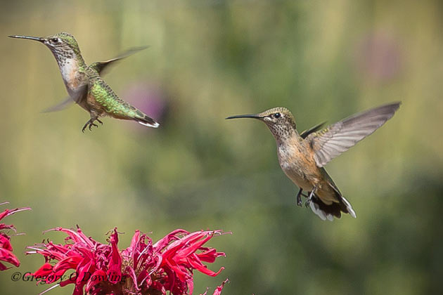 1000  images about hummingbird on Pinterest | Hummingbird ...