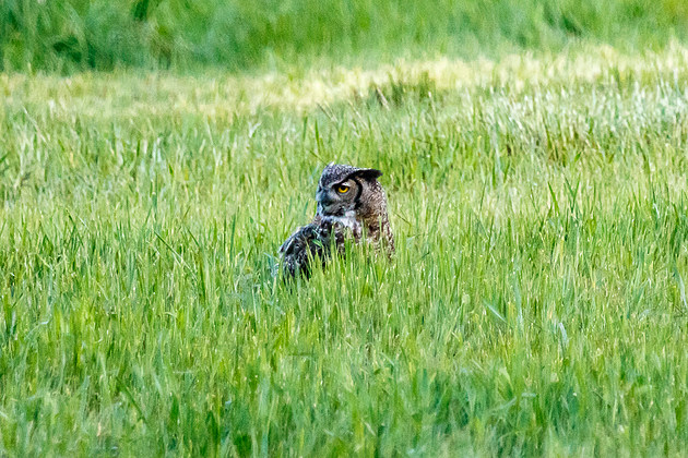 Great Horned Owl in a field. (Mike Daniels, Townsquare Media)